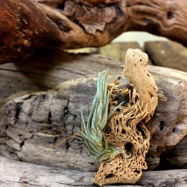 チランジア・バールマルクシー(ブルレマルクシー) Tillandsia burle-marxii 育て方 図鑑