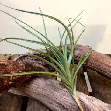 チランジア・ミスティックフレーム Tillandsia Mystic Flame (T. albertiana X T. ixioides) 育て方 図鑑