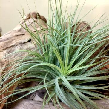 チランジア・ヒューストン・エナノ Tillandsia Houston Enano (T. stricta X T. recurvifolia) 育て方 図鑑