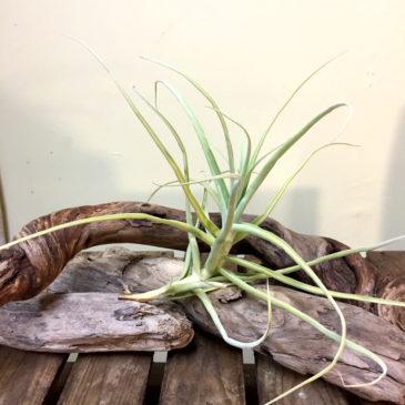 チランジア・アリザ Tillandsia arhiza 育て方 図鑑