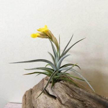 チランジア・イキシオイデス・フレグラントドワーフ Tillandsia ixioides 'Fr. Dwarf' 育て方 図鑑