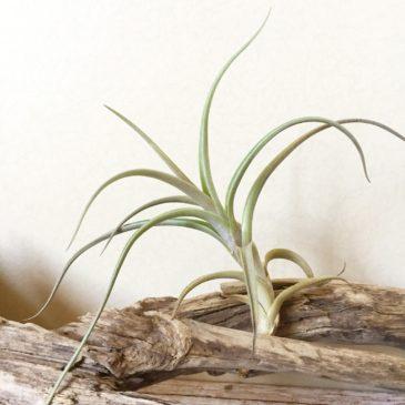 チランジア・ミスティックトランペット Tillandsia Mystic Trumpet (T. albertiana X T. xiphioides) 育て方 図鑑