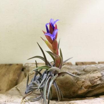 チランジア・ネグレクタ・レッドジャイアント Tillandsia neglecta 'Red Giant' 育て方 図鑑