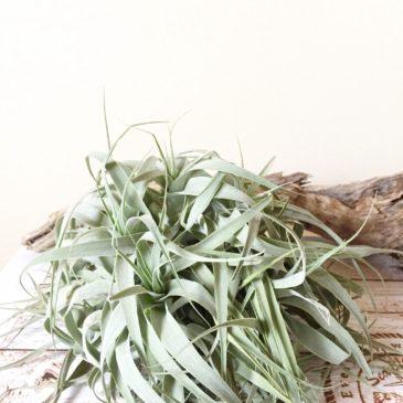 チランジア・カクティコラ・グリーン Tillandsia cacticola 'Green' 育て方 図鑑