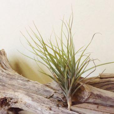 チランジア・テヌイフォリア・アルビノ Tillandsia  tenuifolia 'Albino' 育て方 図鑑