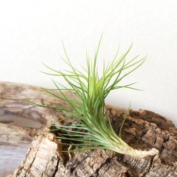 チランジア・フンキアナ・スプリンググリーン  Tillandsia funckiana 'Spring Green' 育て方 図鑑