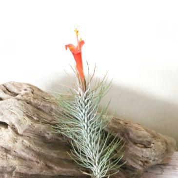 チランジア・フンキアナ・レクルヴィフォリア Tillandsia  funckiana var. recurvifolia 育て方 図鑑