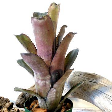 ビルベルギア・ゲルダ Billbergia 'Gerda'(horrida v. tigrina×amoena v .viridis)育て方 図鑑 【Frontier Plants】