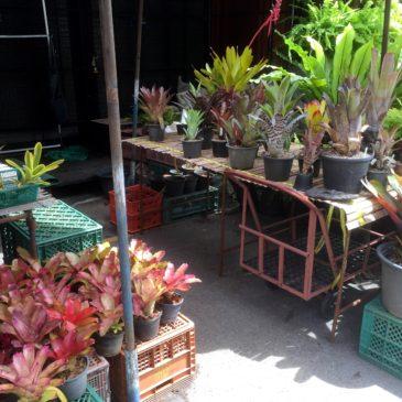 【Frontier Plants】タイ(バンコク)の植物 買い付け旅行記 チャトチャックマーケット編(買い物編)