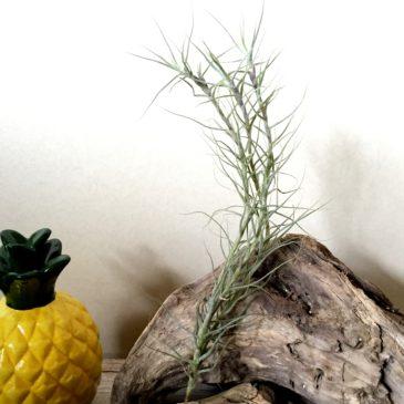 チランジア・セルーレア(カエルレア)Tillandsia caerulea 育て方 図鑑