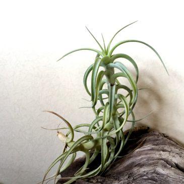 チランジア・ベルゲリ・カウレッセントフォーム Tillandsia bergeri 'Caulescent Form' 育て方 図鑑