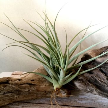 チランジア・イキシオイデス×ライヘンバッキー Tillandsia ixioides × reichenbachii 育て方 図鑑