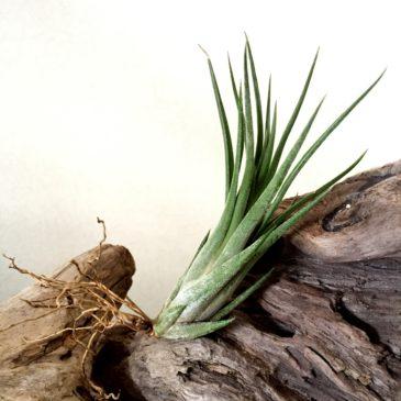チランジア・パウシフォリア・レッドハイブリッド Tillandsia paucifolia 'Red Hybrid' 育て方 図鑑