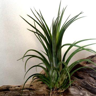 チランジア・イオナンタ×ブラキカウロス Tillandsia ionantha ×  brachycaulos 育て方 図鑑