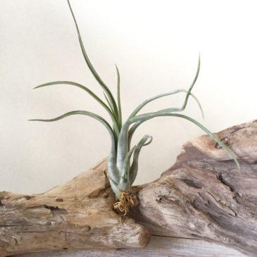 チランジア・パウシフォリア・メキシコフォーム Tillandsia paucifolia 'Mexico Form' 育て方 図鑑