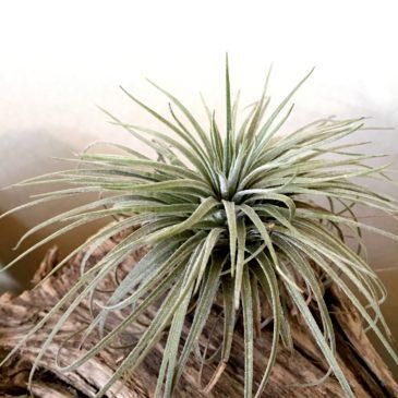 チランジア・アトロビリディペタラ・グランディスピカ Tillandsia atroviridipetala var. grandispica  育て方 図鑑