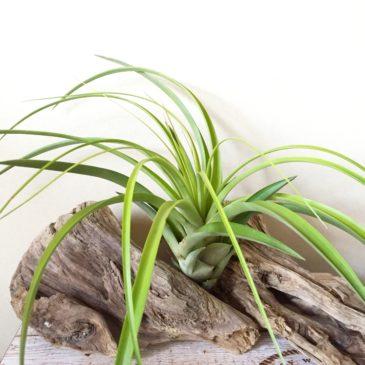 チランジア・バイーア Tillandsia Bahia ( T. rothii x T. fasciculata 'Magnifica') ティランジア育て方 図鑑