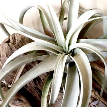 チランジア・ キセログラフィカ ×チアペンシス Tillandsia xerographica x T. chiapensis ティランジア育て方 図鑑