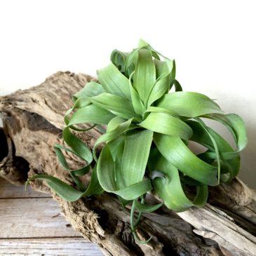 チランジア・ストレプトフィラ・ハイブリッド Tillandsia streptopyhylla 'Hybrids' ティランジア育て方 図鑑