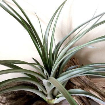 チランジア・ネリーローズ Tillandsia Nellie Rose (T. jalisco-monticola X T. capitata 'Roja') ティランジア育て方 図鑑