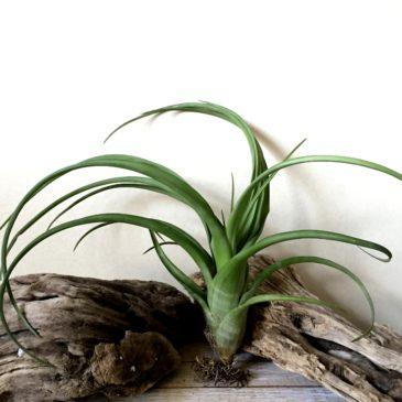 チランジア・フレクスオーサ・ジャイアントフォーム Tillandsia flexuosa 'Giant Form' ティランジア育て方 図鑑
