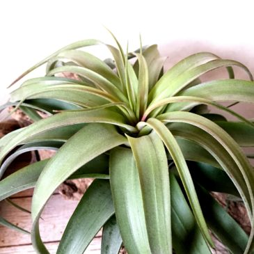 チランジア・エリックノブロック Tillandsia Eric Knobloch (T. brachycaulos X T. streptophylla) 育て方 図鑑