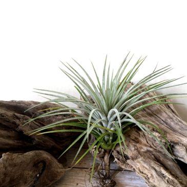 チランジア・クターナ Tillandsia Ku-Thana (T. schiedeana x T. ionantha var. stricta) ティランジア育て方 図鑑