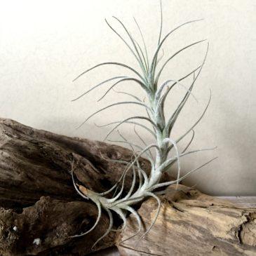 チランジア・テクトラム・カウレッセントフォーム Tillandsia tectorum 'Caulescent Form' 育て方 図鑑