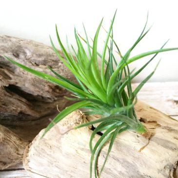 チランジア・テヌイフォリア・エメラルドフォレスト Tillandsia tenuifolia 'Emerald Forest' ティランジア育て方 図鑑