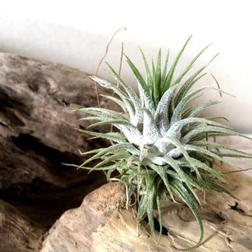 チランジア・イオナンタ・グアテマラ Tillandsia  ionantha 'Guatemala' ティランジア育て方 図鑑
