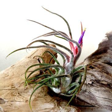 チランジア・プルイノーサ・ジャイアント Tillandsia pruinosa 'Giant' 育て方 図鑑