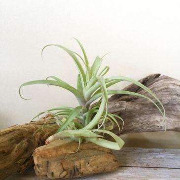 チランジア・ラティフォリア・ディバリカータ Tillandsia latifolia var. divaricata 育て方 図鑑