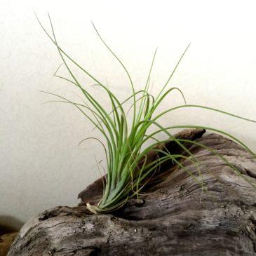 チランジア・エメラルドゴッデス Tillandsia Emerald Goddess (T. tenuifolia Emerald Forest X T. tenuifolia Green Goddess) 育て方 図鑑