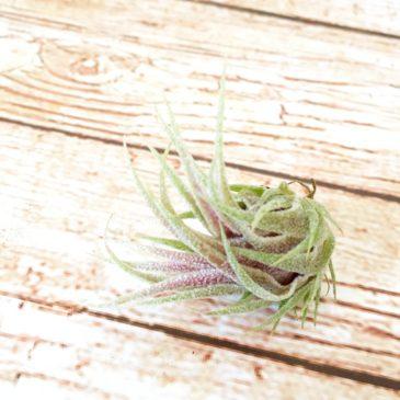 チランジア・スプレンゲリアナ・レッドリーフ Tillandsia sprengeliana 'Red Leaf' 育て方 図鑑