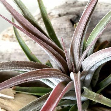 チランジア・シルバートリンケット Tillandsia Silver Trinket (T. ionantha x T. chiapensis) ティランジア育て方 図鑑