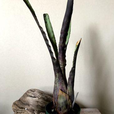 ホヘンベルギア・ペンナエ Hohenbergia pennae タンクブロメリア 育て方 図鑑 【Frontier Plants】