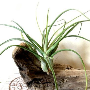 チランジア・ナチュラリーゴージャス Tillandsia Naturally Gorgeous (T. streptophylla X T. abdita) ティランジア育て方 図鑑