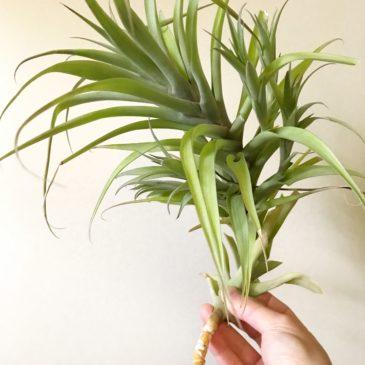 チランジア・ラティフォリア・カウレッセント Tillandsia latifolia 'Caulescent' ティランジア育て方 図鑑