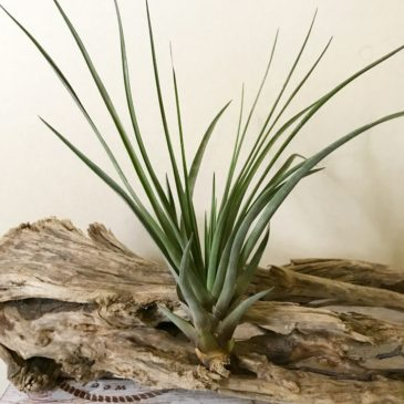 チランジア・ロンボイデア Tillandsia rhomboidea ティランジア育て方 図鑑