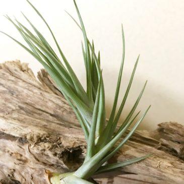 チランジア・ミスティックバーガンディー Tillandsia Mystic Burgundy (T.muhriae × T.albertiana) ティランジア育て方 図鑑