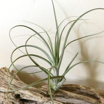 チランジア・エクセルタ×バルビシアーナ Tillandsia exserta × T.balbisiana ティランジア育て方 図鑑