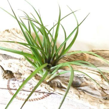 ワリシア・リンデニー Wallisia lindenii(チランジア・キアネア Tillandsia cyanea) ティランジア育て方 図鑑