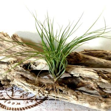 チランジア・ロドリゲジアナ・メキシカンフォーム Tillandsia rodrigueziana 'Mexican Form' ティランジア育て方 図鑑
