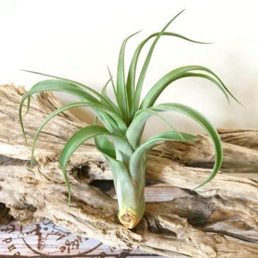 チランジア・バウプル Tillandsia Bauple (T.brachycaulos x T.streptophylla) ティランジア育て方 図鑑