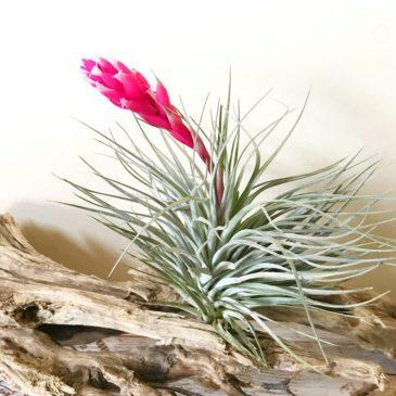 チランジア・ヒューストン・レッドプリンセス Tillandsia Houston 'Red Princess' (T.stricta × T.recurvifolia) ティランジア育て方 図鑑