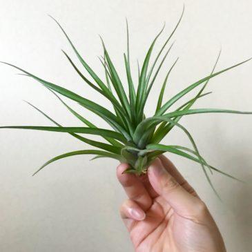 チランジア・ブラキカウロス×コンコロール Tillandsia brachycaulous × T. concolor ティランジア育て方 図鑑