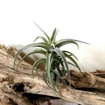 チランジア・ラティフォリア・ドワーフフォーム Tillandsia latifolia 'Dwarf Form' ティランジア育て方 図鑑