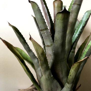 エクメア・チャンティニー × ホヘンベルギア・ヴェスティタ Aechmea chantinii × Hohenbergia vestita タンクブロメリア 育て方 図鑑 【Frontier Plants】