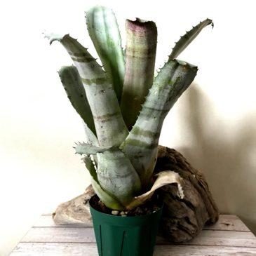 ホヘンメア・ハセベ Hohenmea Hasebe(Ae. chantinii x Hohen. sp. 357) タンクブロメリア 育て方 図鑑 【Frontier Plants】
