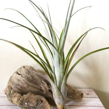 チランジア・ダシリリフォーリア Tillandsia dasyliriifolia (sp. Yucatan, Mexico) ティランジア育て方 図鑑